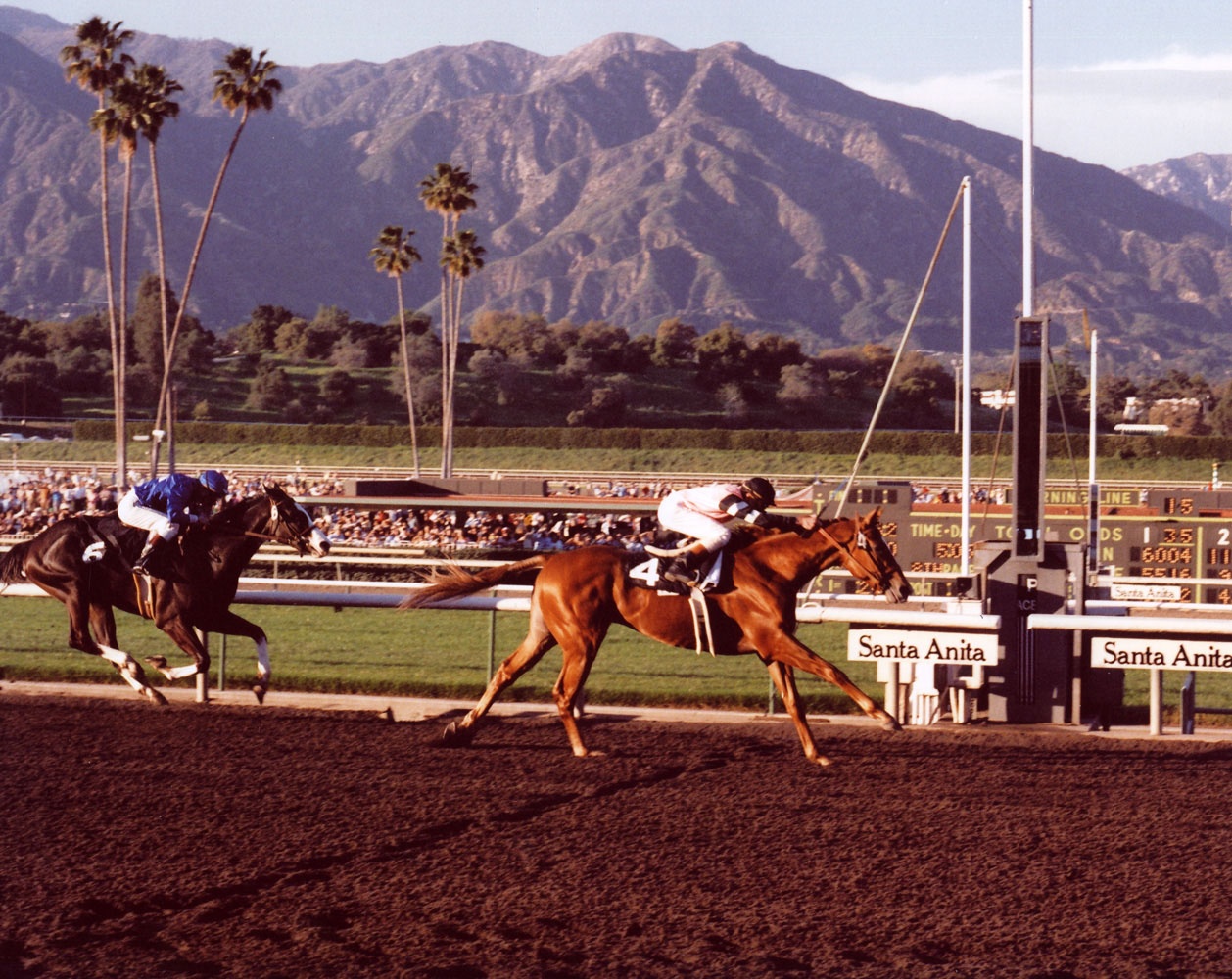Affirmed (Steve Cauthen up) racing to victory in the 1978 San Felipe Handicap at Santa Anita (Bill Mochon/Museum Collection)