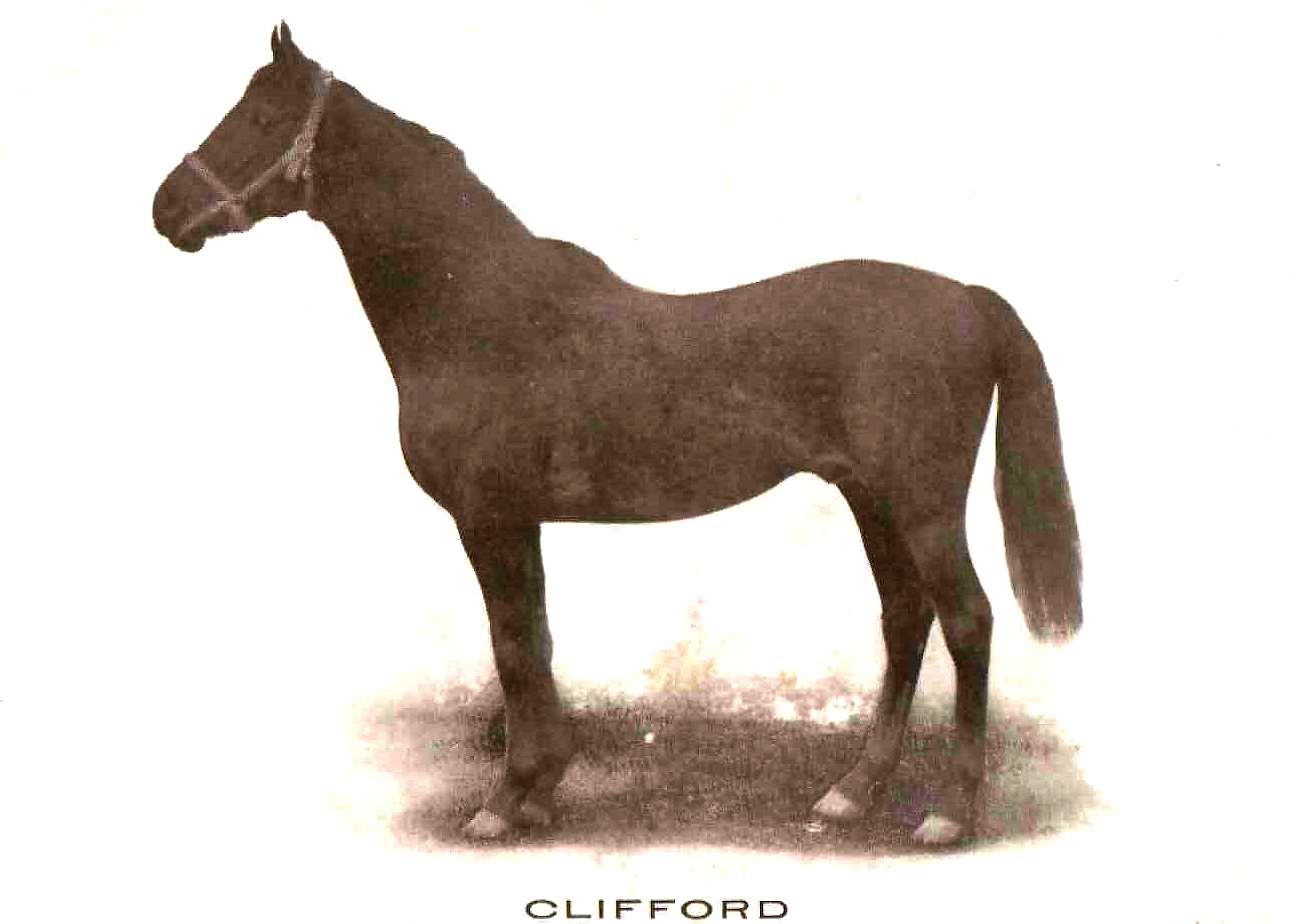 Clifford at Hurricana Farm (Courtesy of Friends of Sanford Stud Farm)