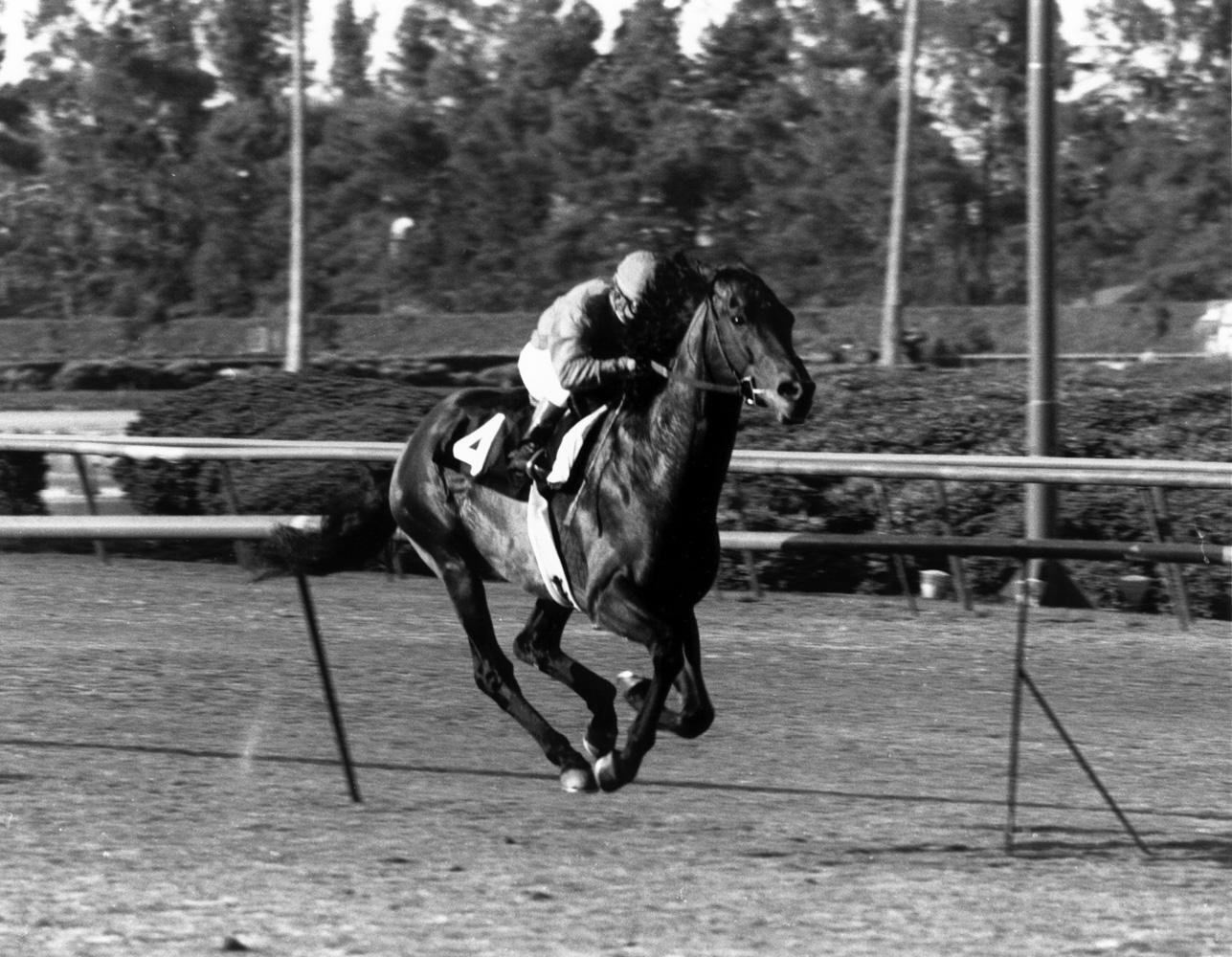 Cougar II (Bill Shoemaker up) winning the 1973 Century Handicap at Hollywood Park (Bill Mochon/Museum Collection)