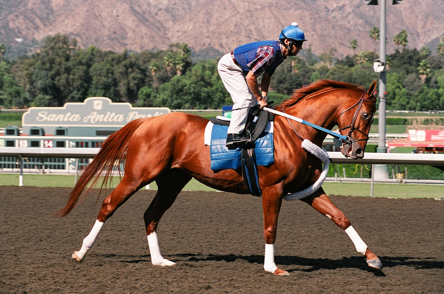 Curlin prepping for the Breeders' Cup Classic at Santa Anita, October 2008 (Bill Mochon/Museum Collection)