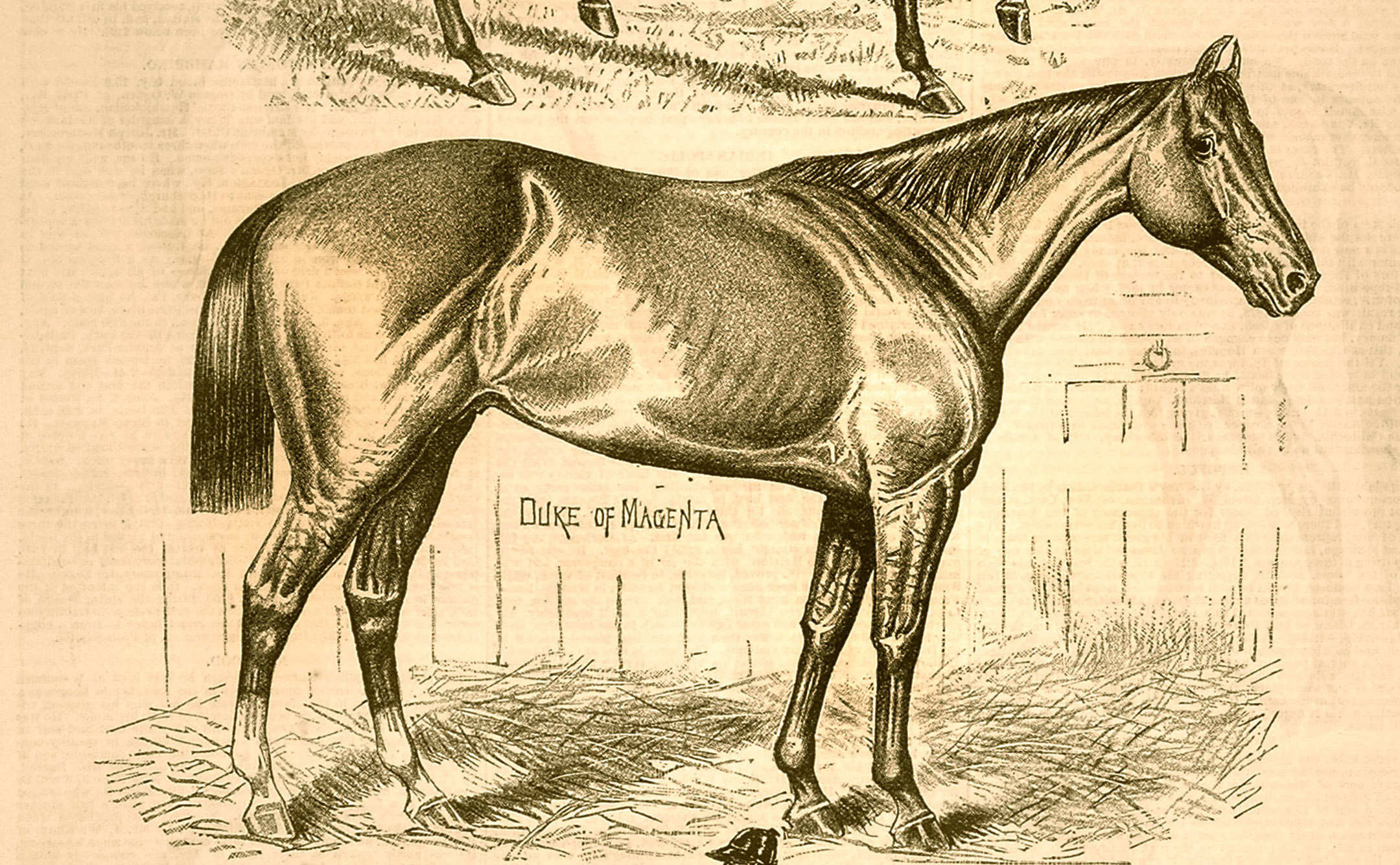 "A likeness of Duke of Magenta from the ""Spirit of the Times"" (Keeneland Library Collection)"
