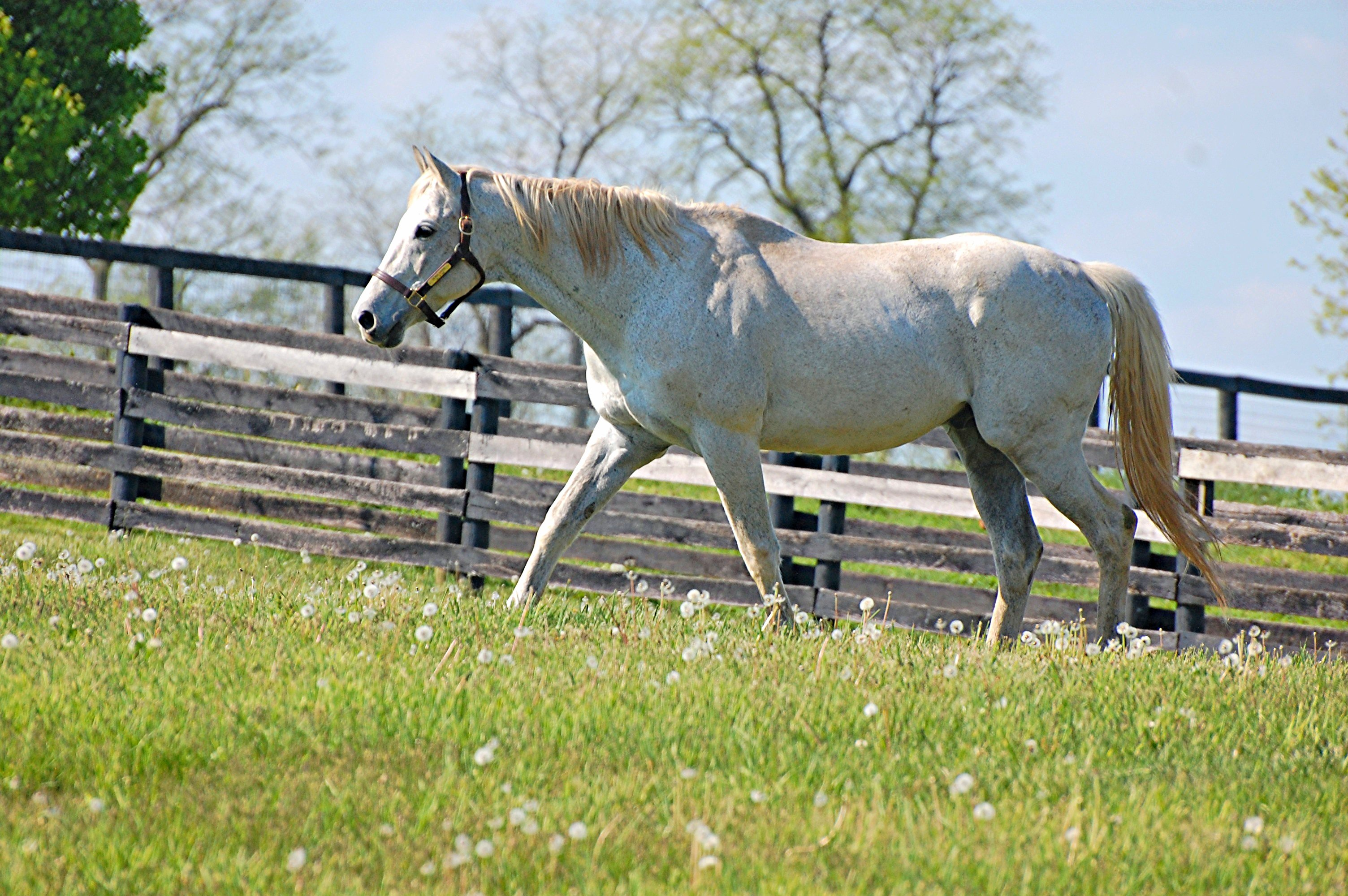 Silver Charm at Old Friends in Georgetown, Kentucky, 2016 (Rick Capone)