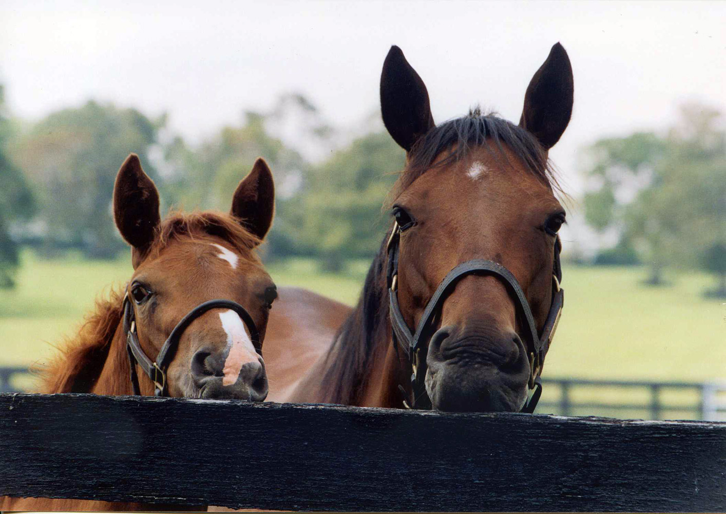 Serena's Song with her 2003 Storm Cat filly at Denali Stud, August 2003 (Victoria Keith/Museum Collection)