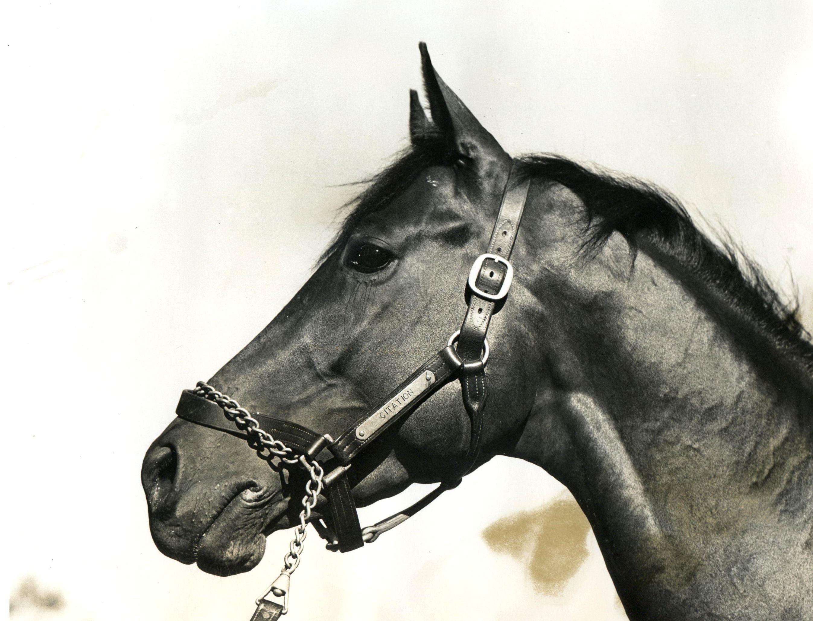 Portrait of Citation, 1948 Triple Crown winner (Museum Collection)